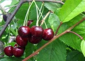Maguskirsipuu Cerasus avium sün Prunus avium 'Mupi'